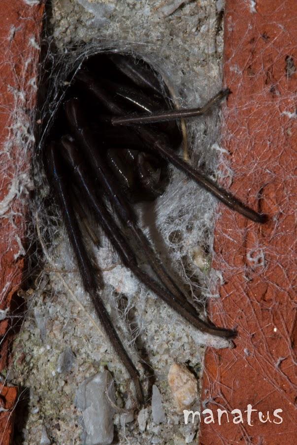 manatus foto blog araña en pared