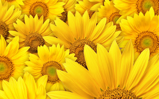 Sunflowers-macro-photography-2560x1600