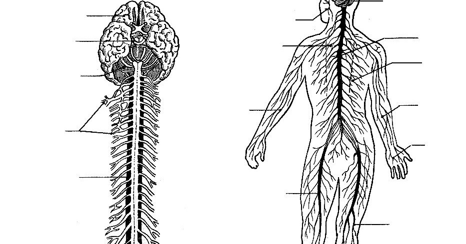Pinto Dibujos: Sistema Nervioso Sin Nombres Para Colorear