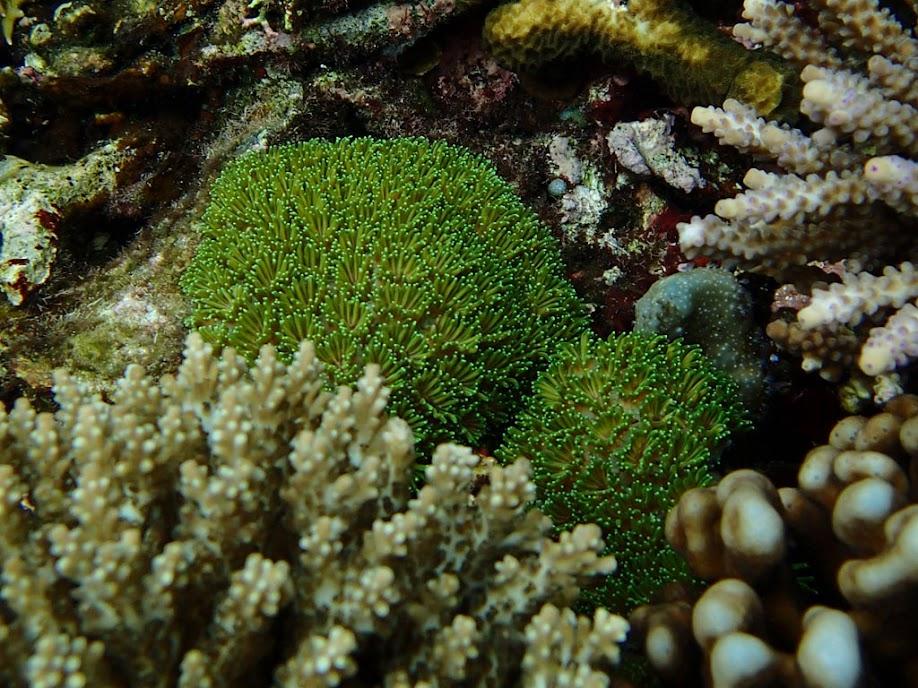 Galaxea sp. (Galaxy Coral), Small Lagoon, Miniloc Island, Palawan, Philippines.