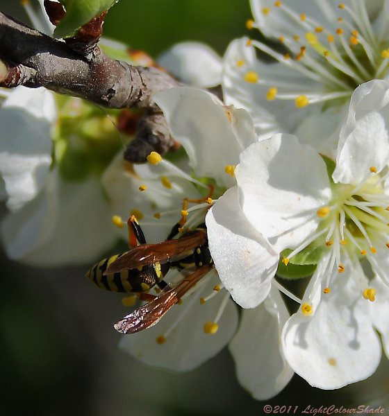 Wasp collecting nectar from apple tree flower