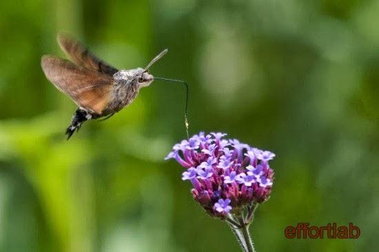 hummingbird-hawk-moth-macroglossum-stellatarum