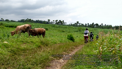 Jalur ini berada di tengah sawah dan sesekali terlihat sapi yang diternakkan warga.