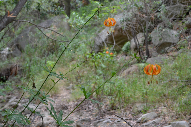 Humboldt lilies in Cold Spring middle fork