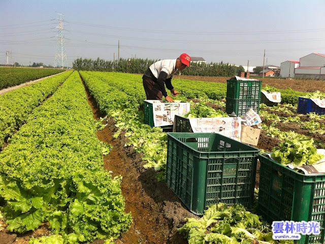 麥寮-新興的農特產品 美生菜萵苣