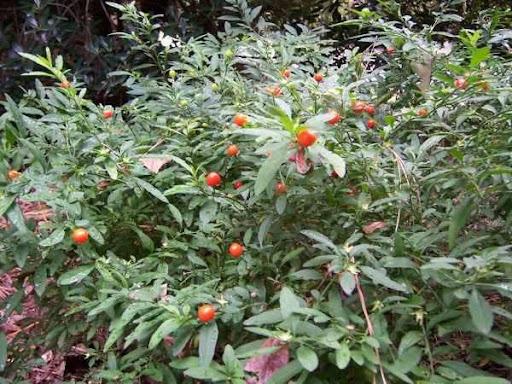 Solanum_pseudocapsicum