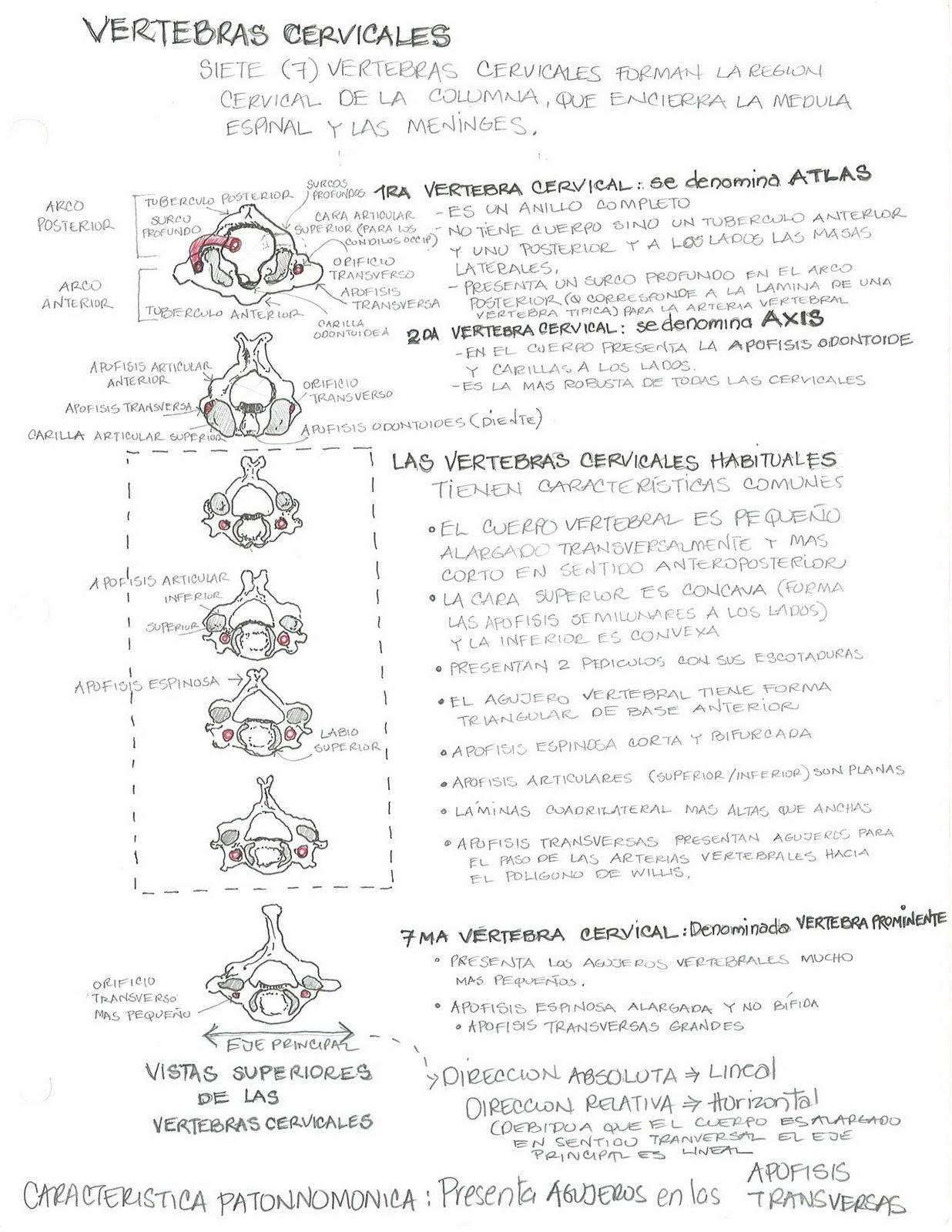 Anatomía Humana... Para Humanos: Sistema Oseo - Vertebras Cervicales