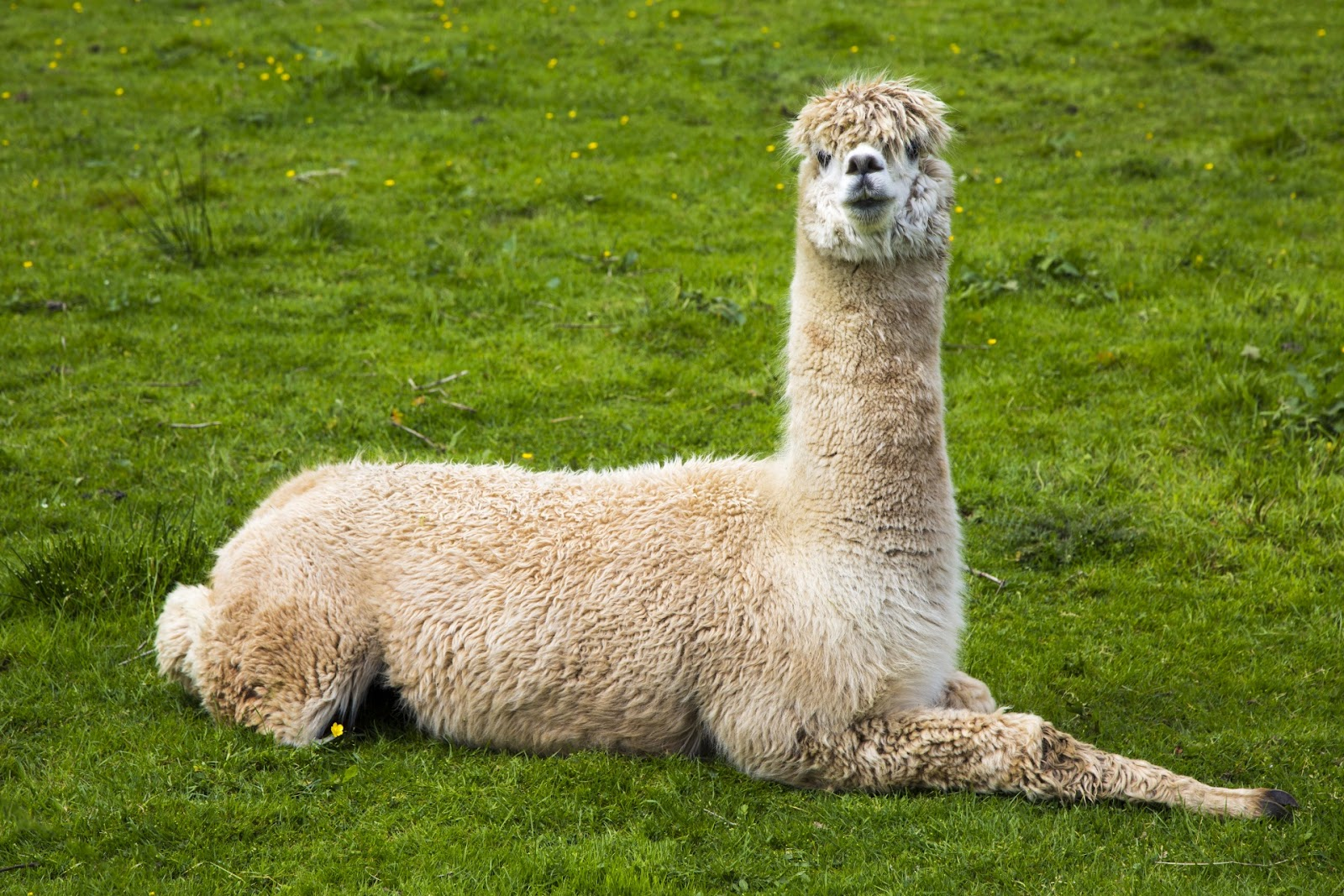 Llama Free Stock Photo - Public Domain Pictures