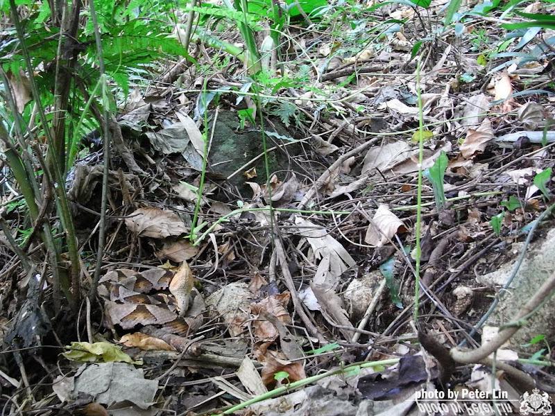 隱形的百步蛇...你看見了嘛 ?