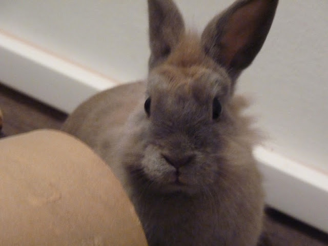 Griffe, petite lapine marrons- [adoptée] P1020810