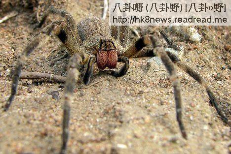 通過老鼠試驗發現,這種蜘蛛毒素通過增加一氧化氮的分泌量,有效改善了勃起功能