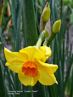 "Narcissus tazetta ""Golden Dawn"""