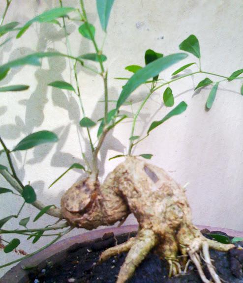 Hướng dẫn về cây Linh Sam : so sánh lá, chọn mua và chơi