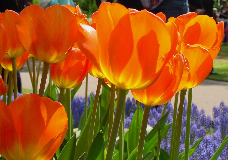 Blog de viajes viajar y aprender jardines de tulipanes de keukenhof - Jardines de tulipanes en holanda ...