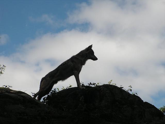 Les Loups de Chabrière PICT0427