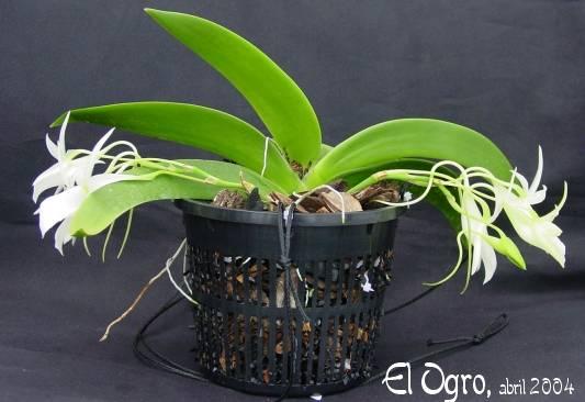 Растения из Тюмени. Краткий обзор Angraecumleonis