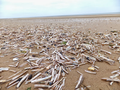 Millions of razor shells on Brancaster Beach