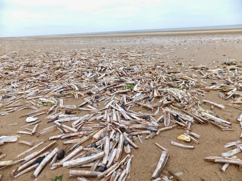 Millions of razor shells on Brancaster Beach