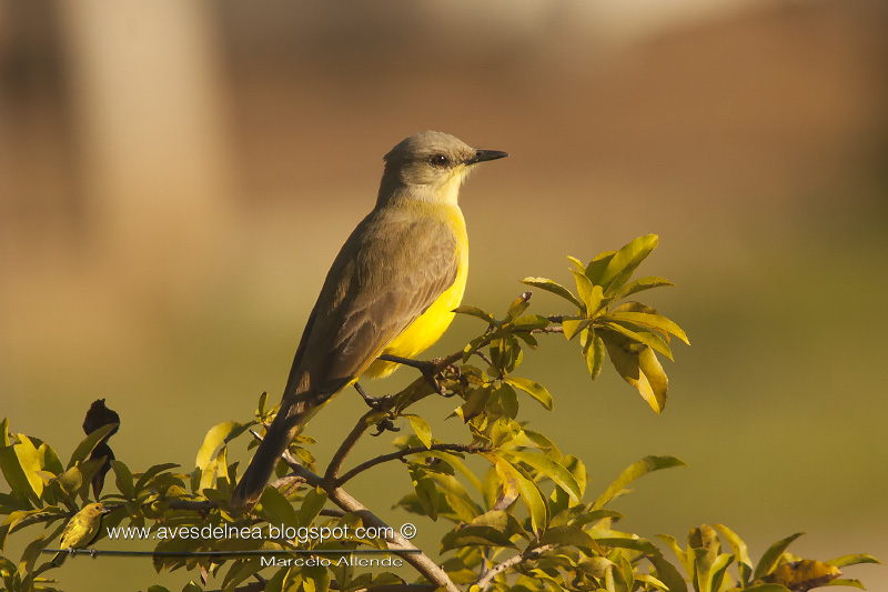 Picabuey (Cattle Tyrant) Machetornis rixosa