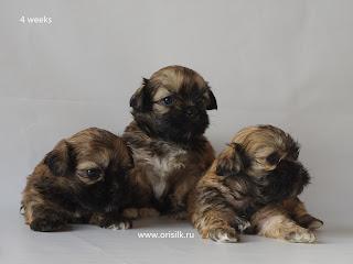 http://www.lhasa-apso-club.ru/pups