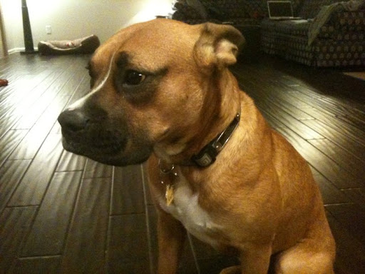 boxer described mom was a local st helens boxer lovemar honest dog il