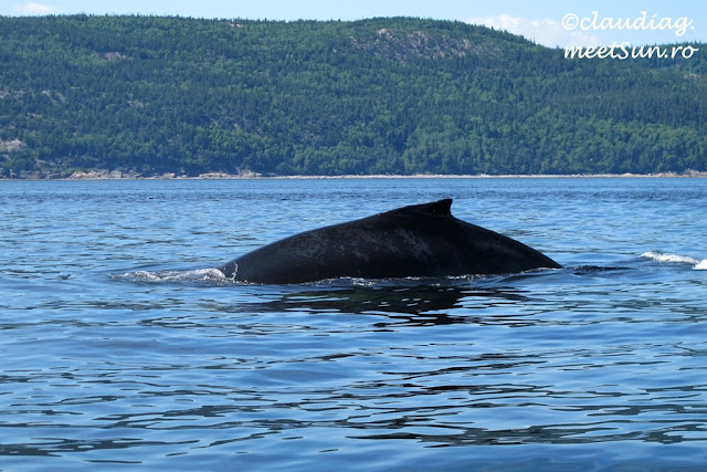 Balene in St Lawrence - whale-watching