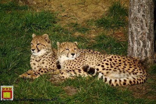 cheetahs vieren hun eerste verjaardag Zoo Parc Overloon (6) 11-11-2012.JPG
