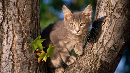 Perched, Gray Domestic Shorthair.jpg