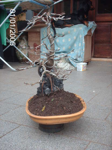 Ficus Nerifolia, Uma raiz de 3 anos... PICT1067