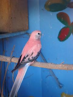 Burung+Parkit+merah Cara Ternak  Burung Parkit