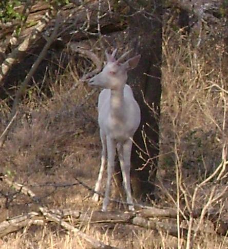 white impala Kruger park