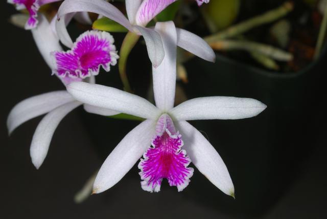 Растения из Тюмени. Краткий обзор - Страница 4 Laelia%252520lundii
