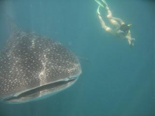 Plavanje z nenevarnimi kitovci