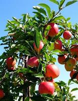 δέντρο μηλιά,αγνά φρούτα, ιεροί καρποί,μήλο,apple trees, pure fruit, holy fruit, apple
