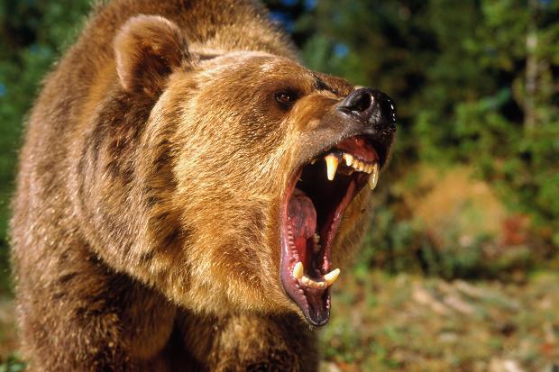 Urso pardo vs Urso polar 109469790__314331c