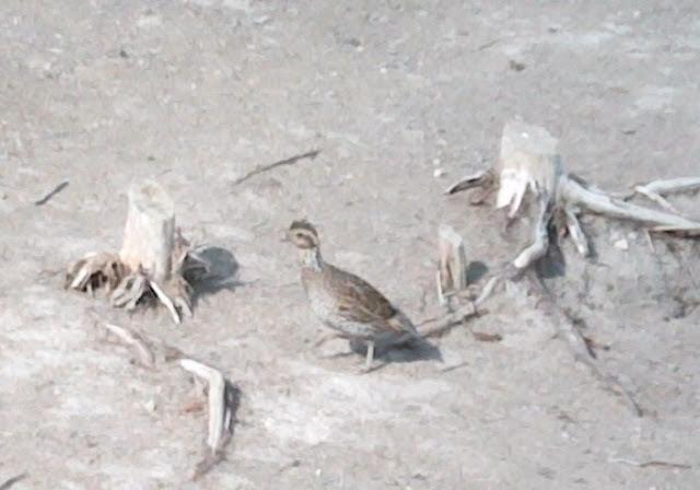 native texas quail. bob white quail