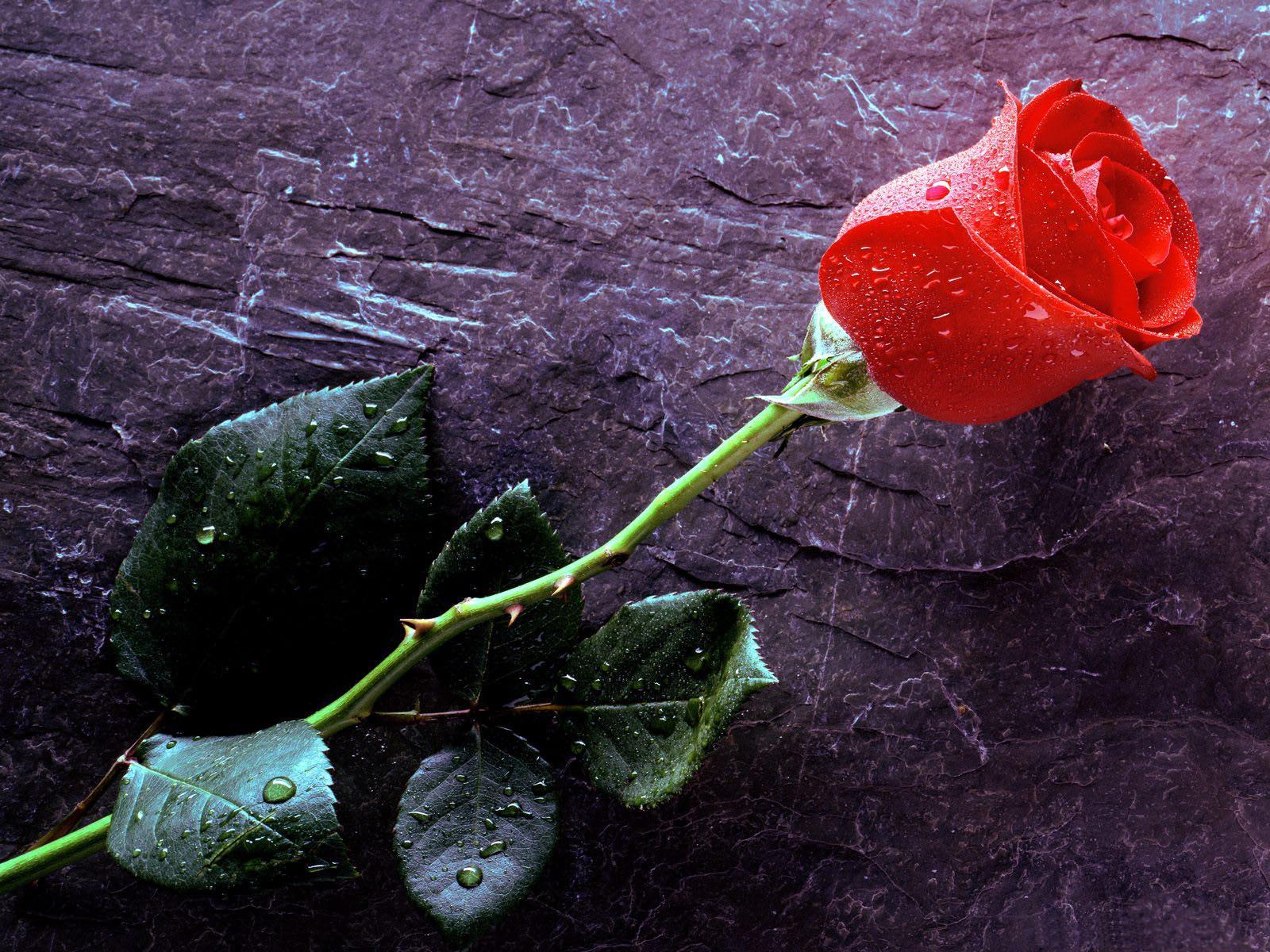 Mooie eenzame rode roos bureaublad achtergrond