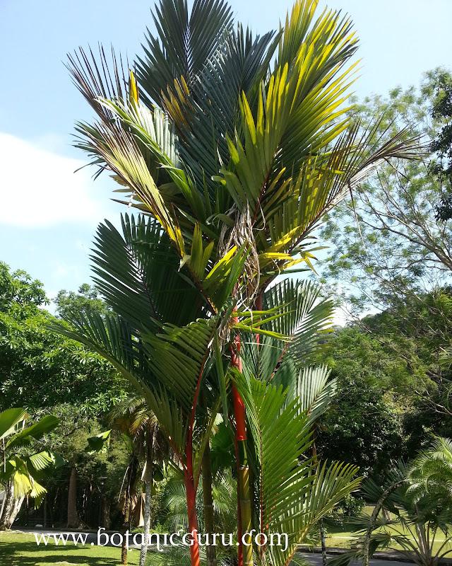 Cyrtostachys renda, Sealing Wax Palm, Lipstick Palm, Maharajah Palm