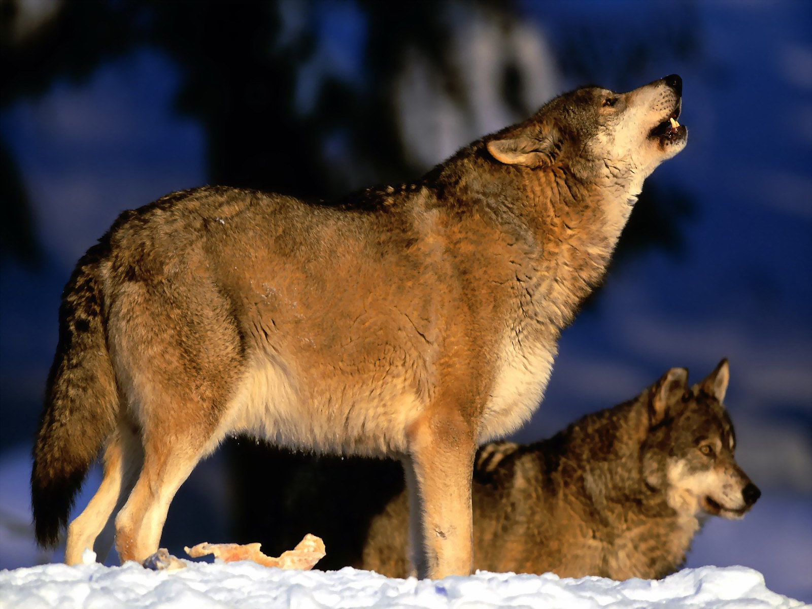 Wolven achtergronden hd wallpapers - Wolf howling hd ...
