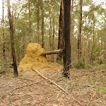 Termite mound in the Watagans (320963)