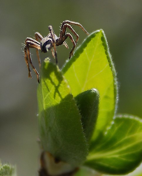 Spider on apple tree leaf