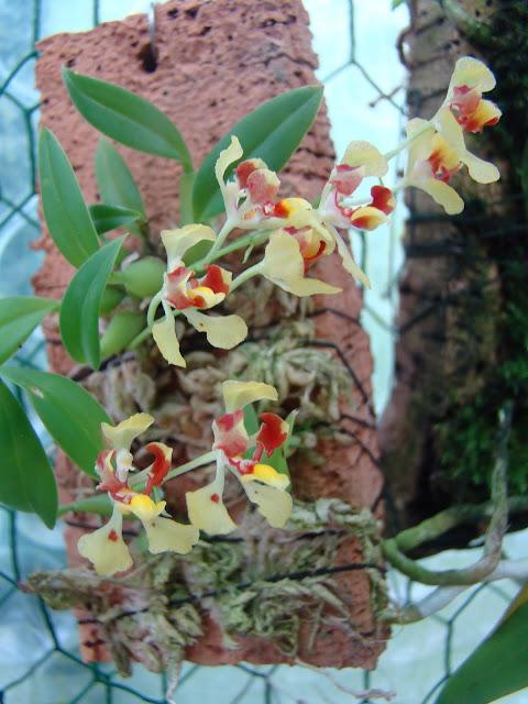 Oncidium coloratum DSC09747