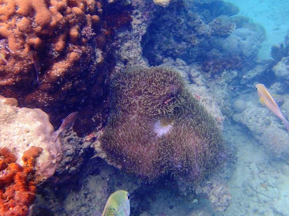 Amphiprion perideraion (Pink Skunk Clownfish) with Heteractis magnifica (Ritteri Anemone), Miniloc Island Resort reef, Palawan, Philippines.