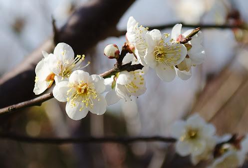 須磨浦山上遊園地の梅の花1