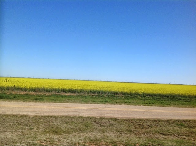 Rapeseed crop in N. Texas