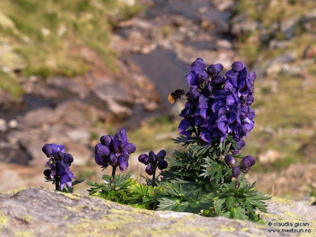 flori mov de munte: omag