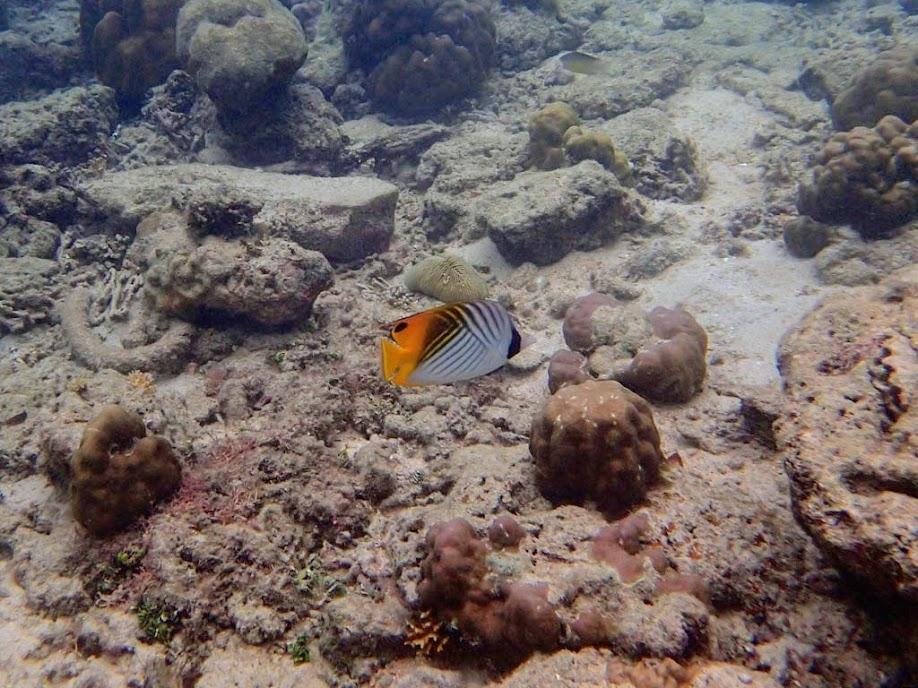 Chaetodon auriga (Auriga Butterflyfish), Miniloc Island Resort reef, Palawan, Philippines.