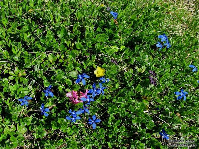 albastre genţiene, mov degetăraşi, roz rododendron, galbeni sclipeţi