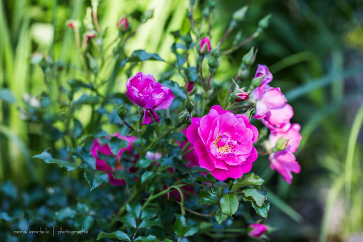 Rosa Sweet Vigorosa Rosa-sweet-vigorosa-130716-60rm