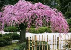Сакура в японском саду